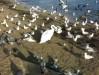 В первых числах ноября в Феодосийской заливе увидели первого лебедя